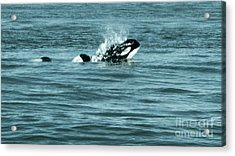 Acrylic Print featuring the photograph Killer Whale by Wilko Van de Kamp