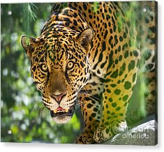 King Of The Forest Acrylic Print
