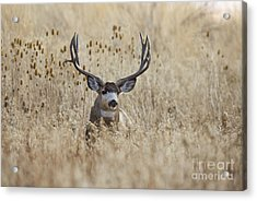 King Of The Marsh Acrylic Print