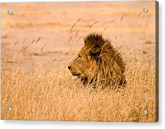 King Of The Pride Acrylic Print by Adam Romanowicz