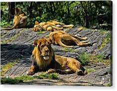 King Of The Pride Acrylic Print by Karol Livote