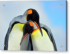 King Penguin Acrylic Print by Tony Beck