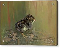 King Quail Chick Acrylic Print