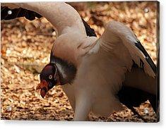 King Vulture 1 Acrylic Print by Chris Flees
