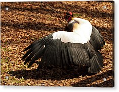 King Vulture 2 Strutting Acrylic Print by Chris Flees