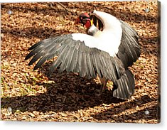 King Vulture 3 Strutting Acrylic Print by Chris Flees