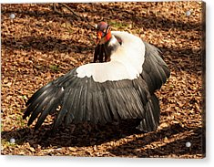 King Vulture 4 Strutting Acrylic Print by Chris Flees
