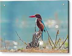 Kingfisher On A Stump Acrylic Print by Pravine Chester