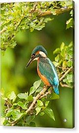 Kingfisher On Ivy Acrylic Print