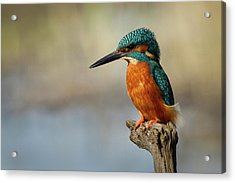 Kingfisher Perched On Dead Tree Acrylic Print