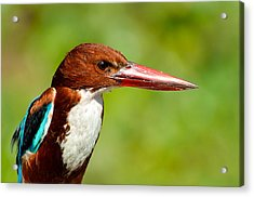Kingfisher_portrait Acrylic Print