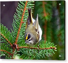 Kinglet In The Pine II Acrylic Print