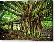 Kipahulu Banyan Tree Acrylic Print