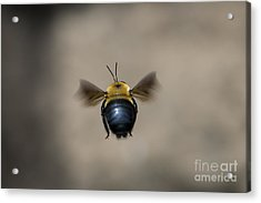 Kiss My Beehind  Acrylic Print by Andrea Silies