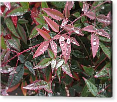 Kissed With Moisture Acrylic Print