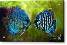 Kissing Discus Fish Acrylic Print