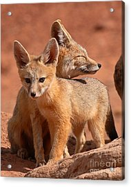 Kit Fox Mother Looking Over Pup Acrylic Print by Max Allen