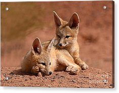 Kit Fox Pups On A Lazy Day Acrylic Print by Max Allen