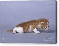 Kitten, 3 Weeks Old Acrylic Print by Jean-Louis Klein & Marie-Luce Hubert