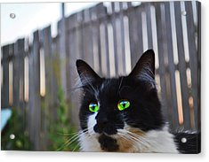 Acrylic Print featuring the photograph Kitten At Twilight  by Naomi Burgess