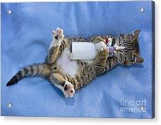 Kitten Drinking Milk Acrylic Print by Jean-Louis Klein & Marie-Luce Hubert