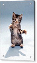 Kitten Hug Acrylic Print