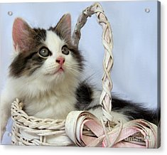 Kitten In Basket Acrylic Print by Jai Johnson