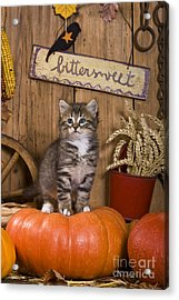 Kitten On A Pumpkin Acrylic Print by Jean-Louis Klein & Marie-Luce Hubert