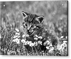 Kitten With Daisy's Acrylic Print