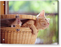 Kittens In Basket Acrylic Print by Sarahwolfephotography