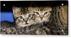 Kittens In The Shadow Acrylic Print