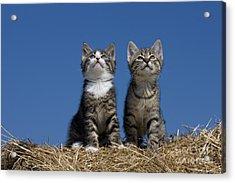 Kittens Watch A Bird Acrylic Print by Jean-Louis Klein & Marie-Luce Hubert