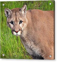 Kitty Look Acrylic Print