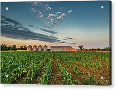 Knee High Sweet Corn Acrylic Print by Steven Sparks