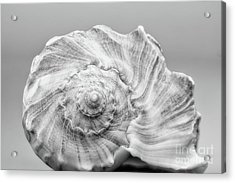 Acrylic Print featuring the photograph Knobbed Whelk by Benanne Stiens