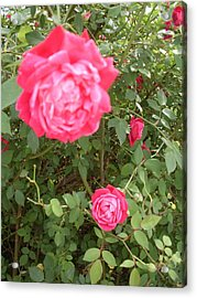 Knockout Roses Acrylic Print by Warren Thompson