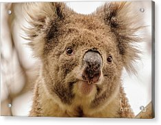 Koala 4 Acrylic Print by Werner Padarin