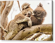 Koala 5 Acrylic Print by Werner Padarin