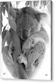 Koala Bear Acrylic Print by Terry Burgess