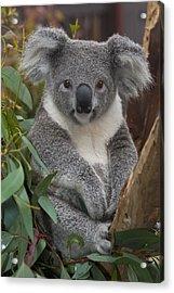 Koala Phascolarctos Cinereus Acrylic Print by Zssd
