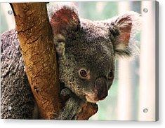 Koala Portrait Acrylic Print by Brian M Lumley