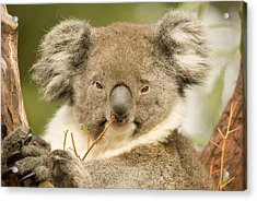 Koala Snack Acrylic Print
