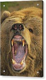 Kodiak Bear Ursus Arctos Middendorffi Acrylic Print by Matthias Breiter