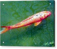 Koi Fish Acrylic Print by Joseph Frank Baraba