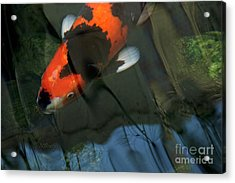 Koi Reflection Acrylic Print