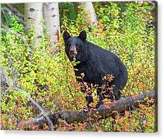 Fall Bear Acrylic Print