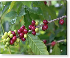 Kona Coffee Cherries Acrylic Print