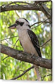 Kookaburra Acrylic Print by Derek Donoghue