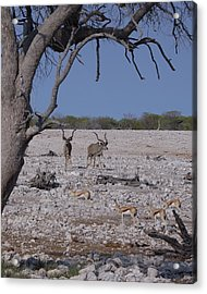 Acrylic Print featuring the photograph Kudu And Springbok 2 by Ernie Echols