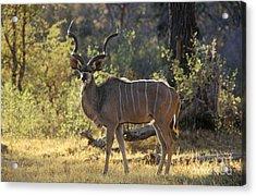 Kudu Bull - Okavango Delta Botswana Acrylic Print by Craig Lovell